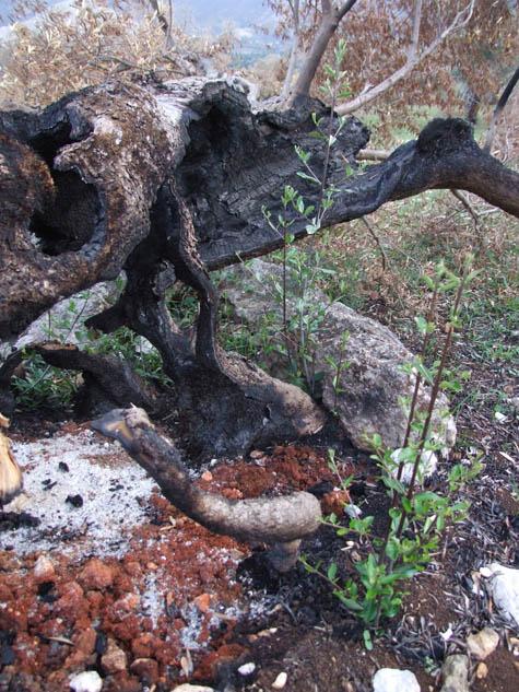 olivo-bruciato-1.jpg